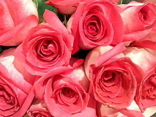 Miami, roses