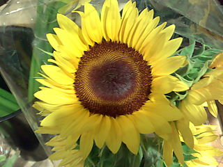 Sunflower, Cocnut Grove Miami Florida